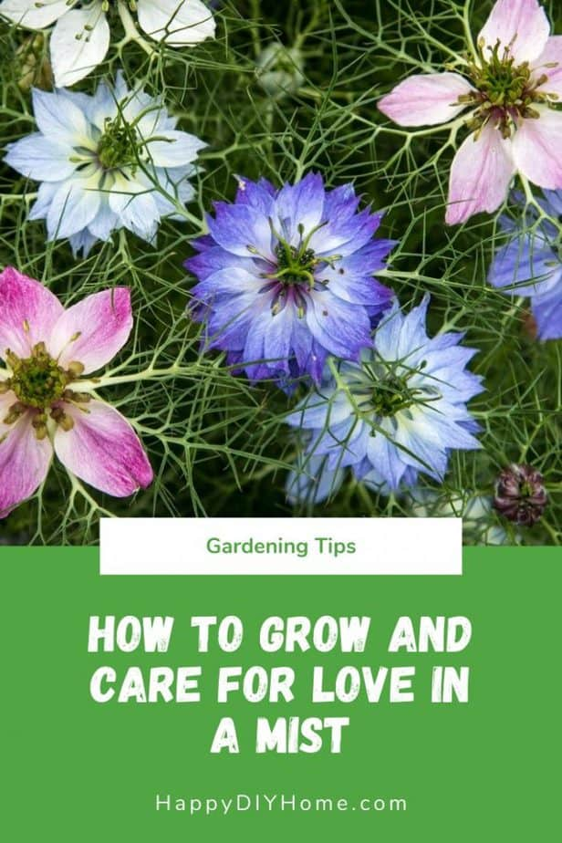 How to Grow and Care for Beautiful Love in a Mist