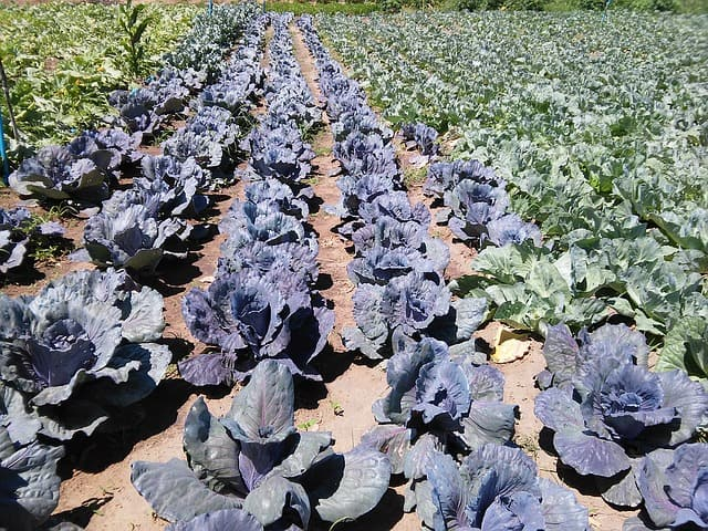 1 Hardy and resilient growing cabbages