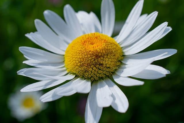 1 Popular shasta daisy