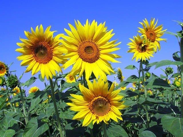 1 Sunflowers are popular summer plants