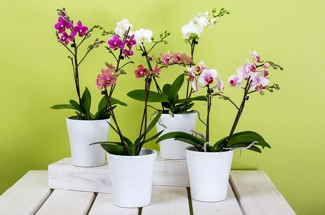 1 The colorful moth orchid