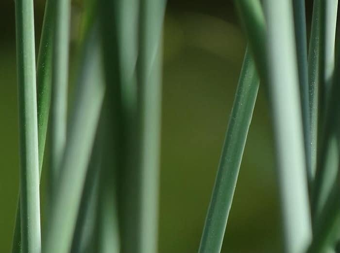 11 horsetail reed