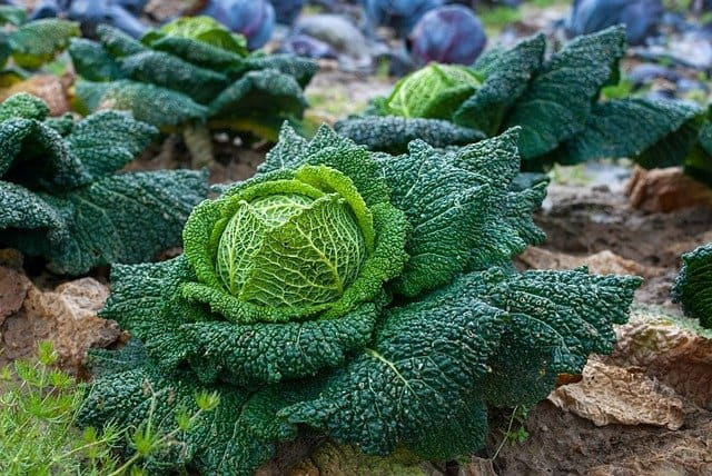 2 Crinkled savoy cabbages