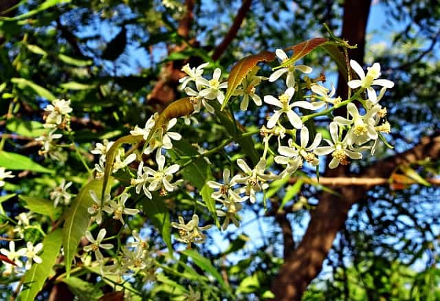 2 The flowers of the neem tree