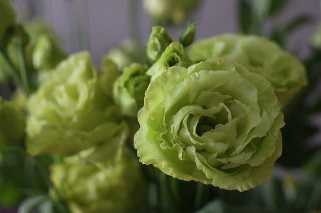 3 Green lisianthus flowers