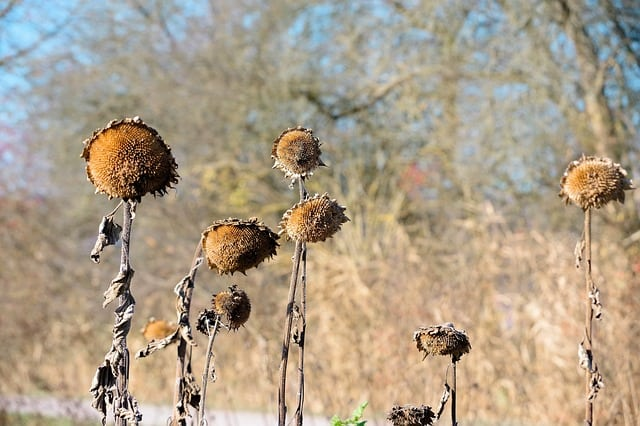 3. Dried sunflower without seeds