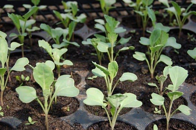 4 Transplant growing seedlings
