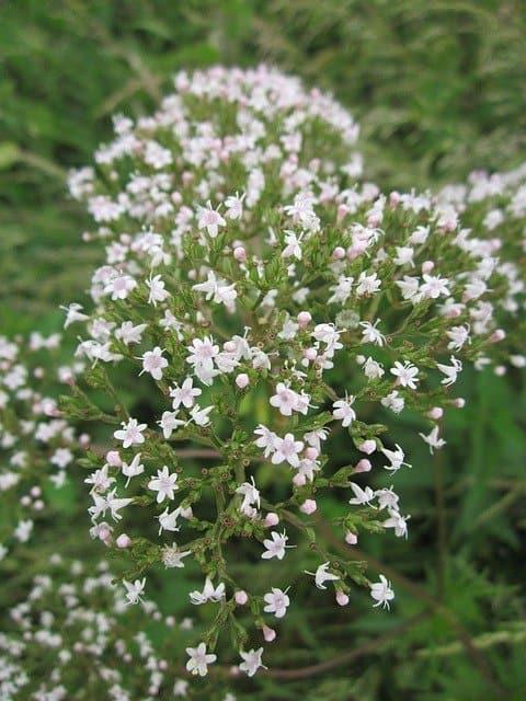 5 Vanilla scented flowers
