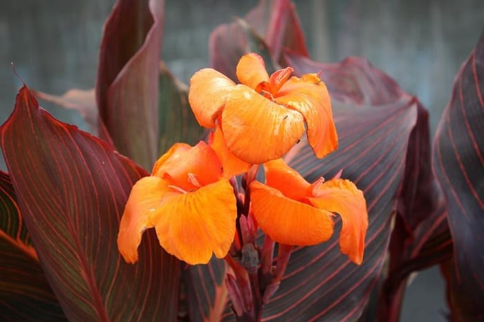 7 Canna Lily