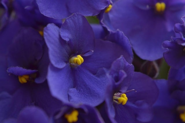 8 African violets thrive in water