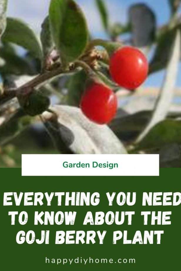 Goji berry plant 1