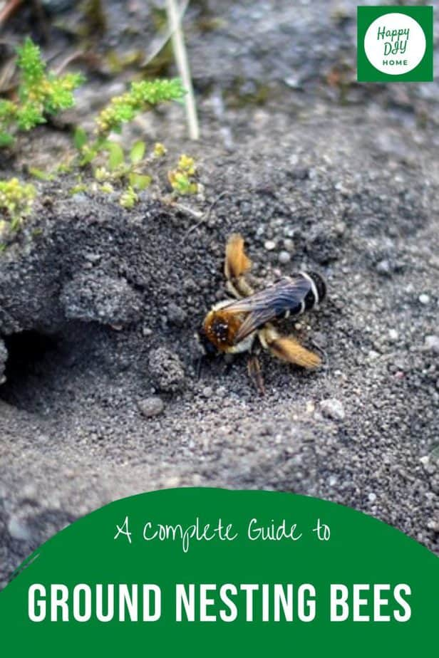 Ground Nesting Bees 2
