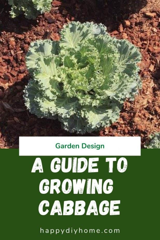 Growing Cabbage 1