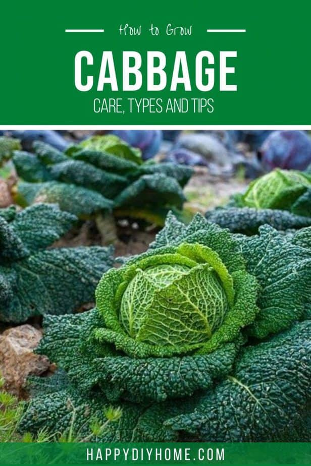 Growing Cabbage 2