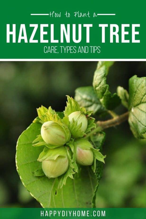 Hazelnut tree 2