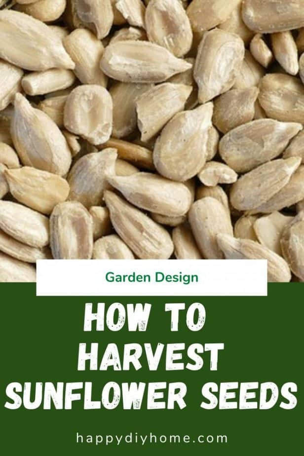 How to Harvest Sunflwoer Seeds 1