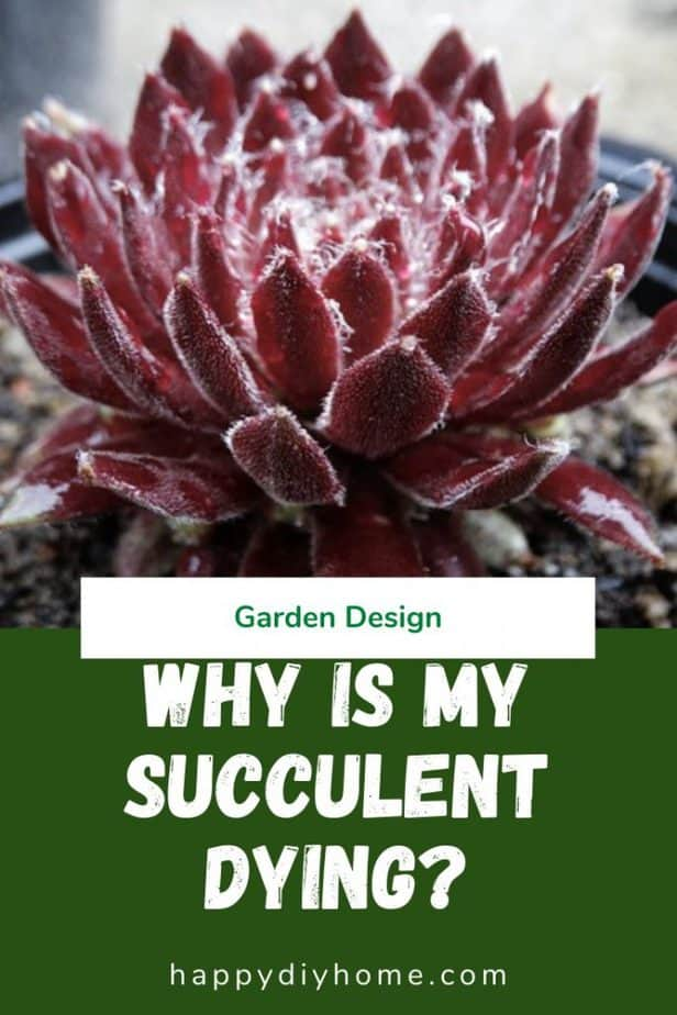 Succulent Dying 1