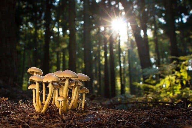 1 A common fungi