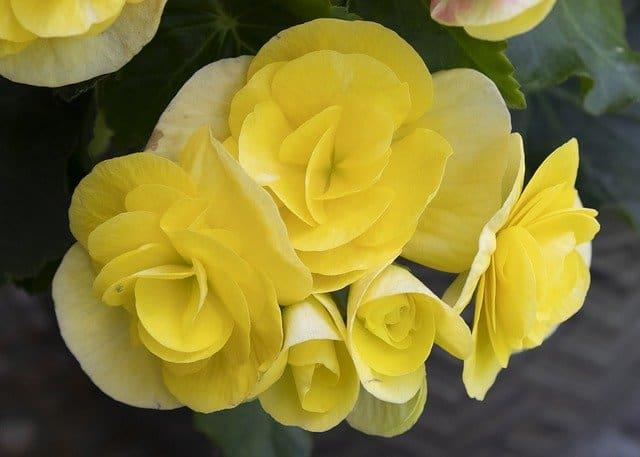 1 Begonias