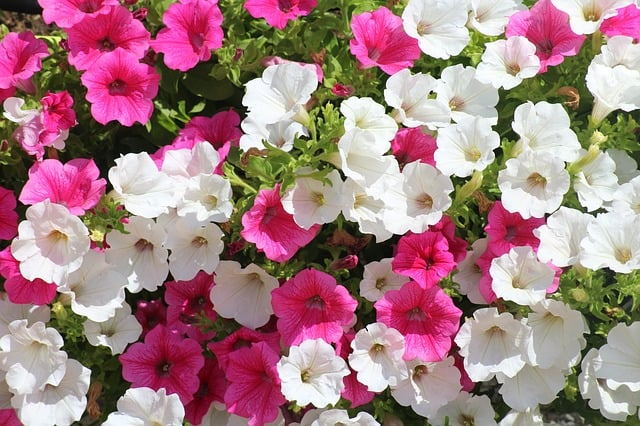 1 Bright and colorful petunias