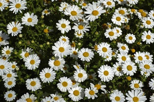 1 Daisy like flowers