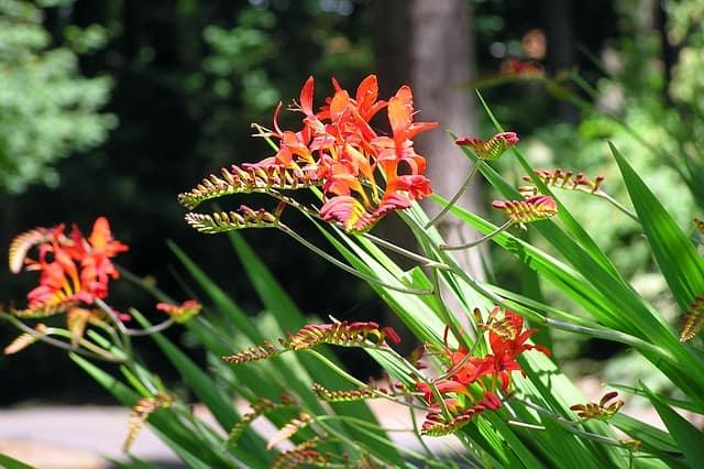 1 Distinctive funnel shaped flowers
