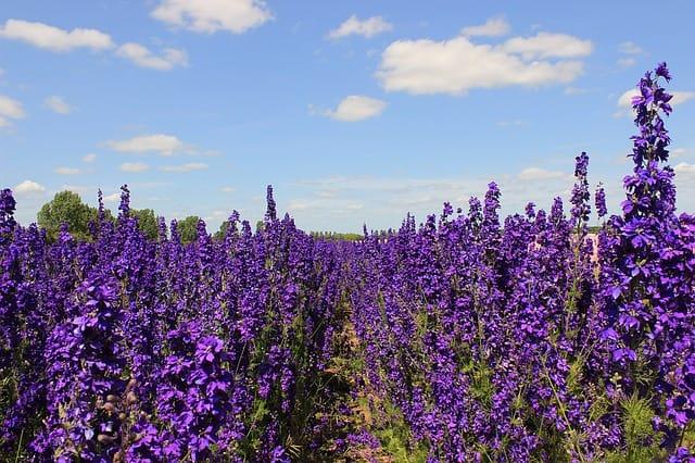 1 Tall purple delphinium