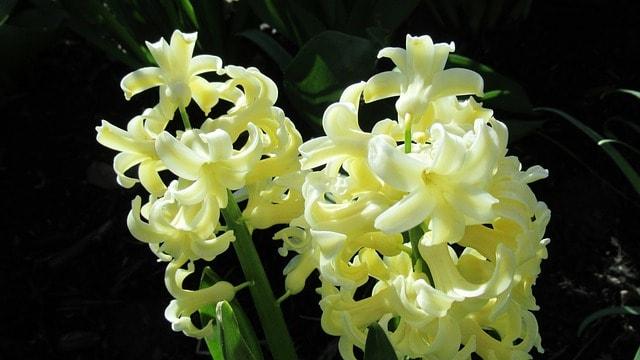 10 Hyacinth