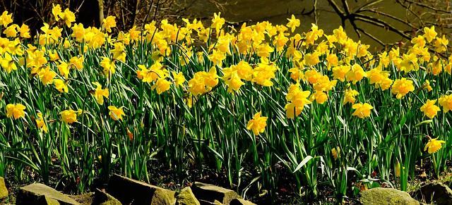 11 Daffodils