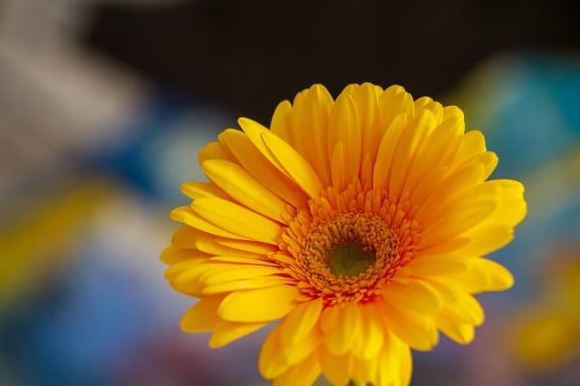 12 Gerbera daisy