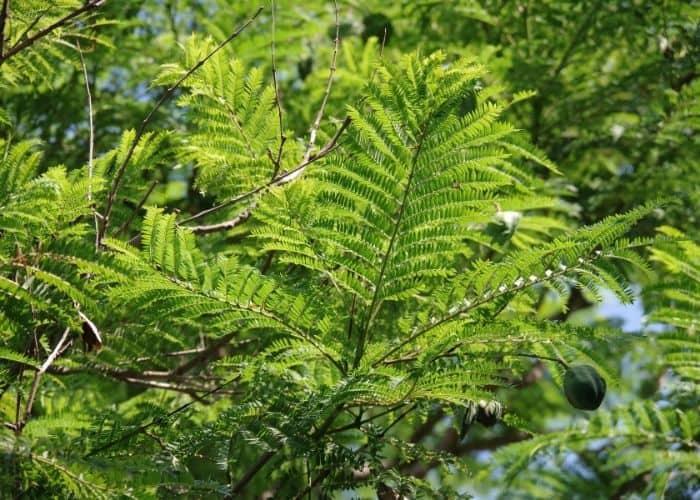 12. Always keep an eye on your Jacaranda leaves