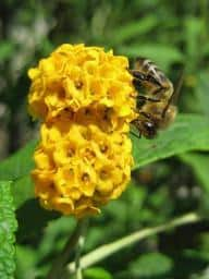 14 Butterfly bush