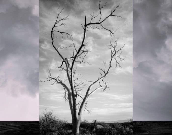 15. a dead ironwood tree