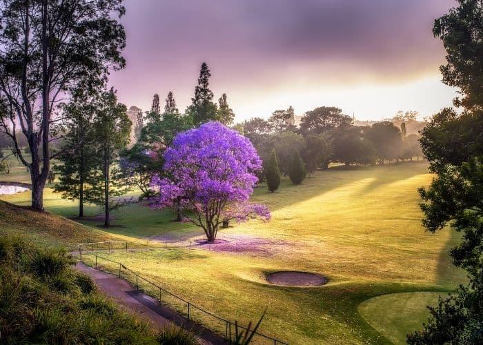 17. Purple hued perfection Jacaranda