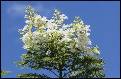 18. White Jacaranda