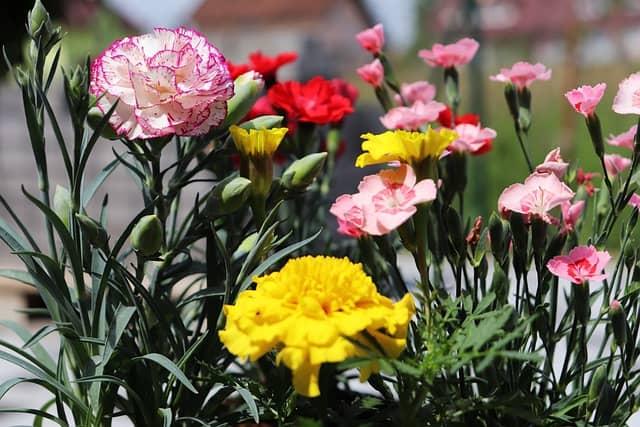 19 Carnation