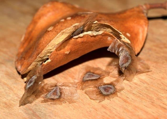 5. A pod and winged seeds Jacaranda