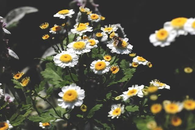 7 Chamomile is popular with pollinators