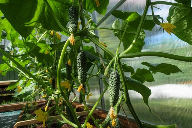 8 Care correctly for cucumber plants