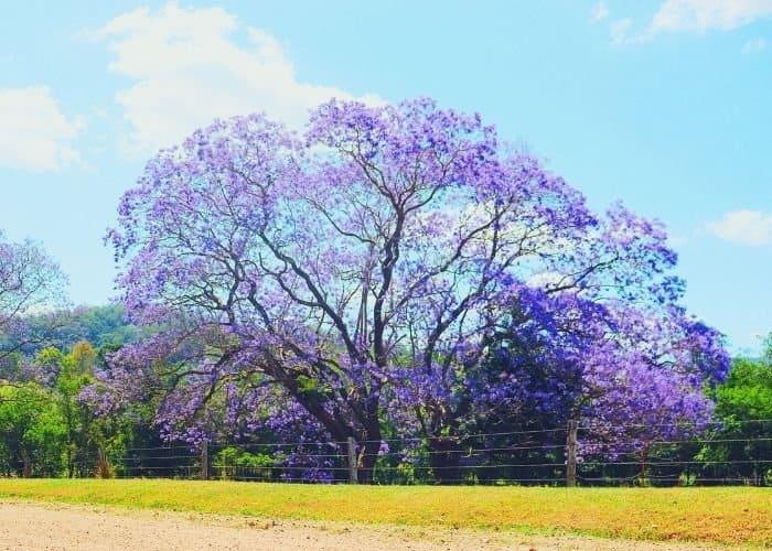 9. A tree as wide as it is tall Jacaranda