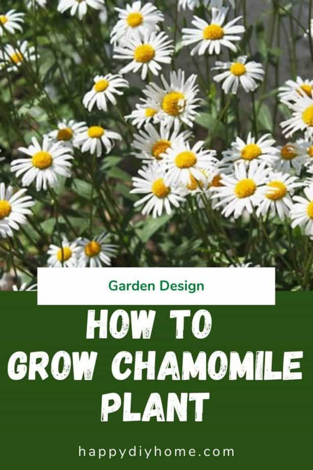 Chamomile plant 1