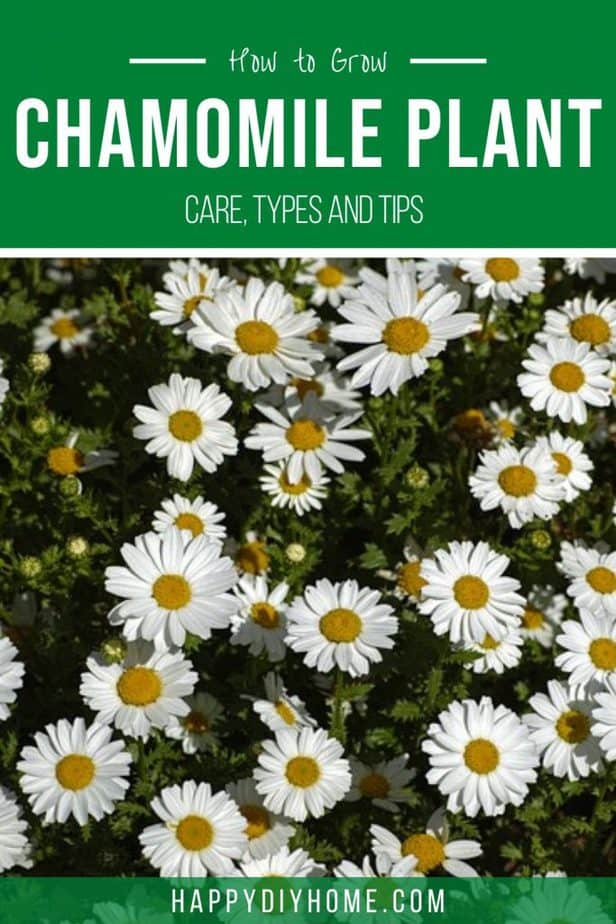Chamomile plant 2