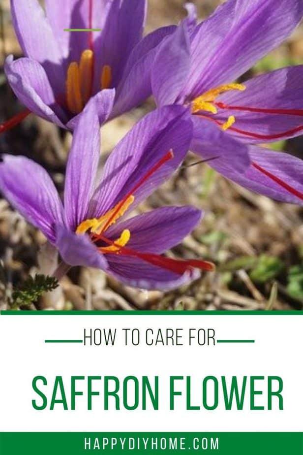 Saffron flower 2