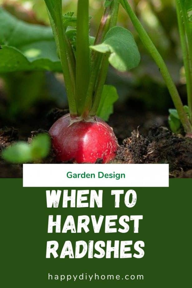When to harvest radishes 1