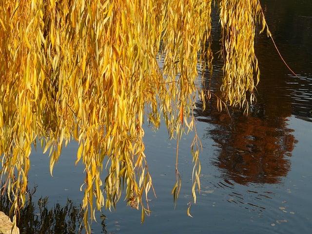 1 Elegant willow trees