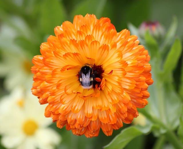 11 Marigold