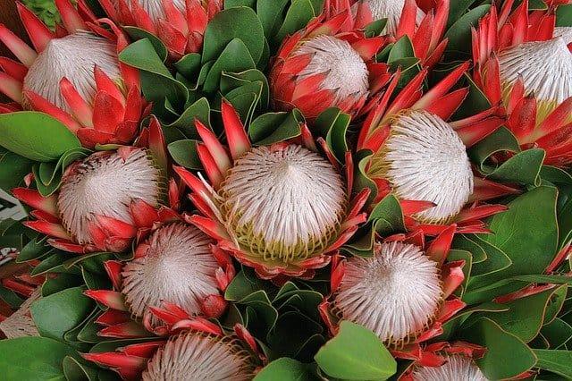 15 Protea
