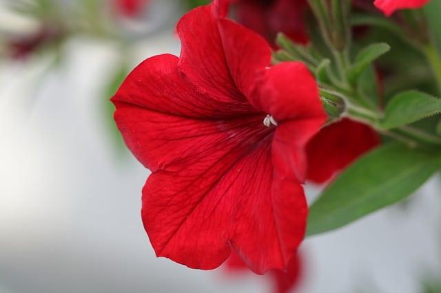 16 Petunia