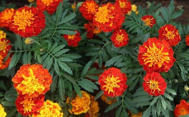 18 Marigolds