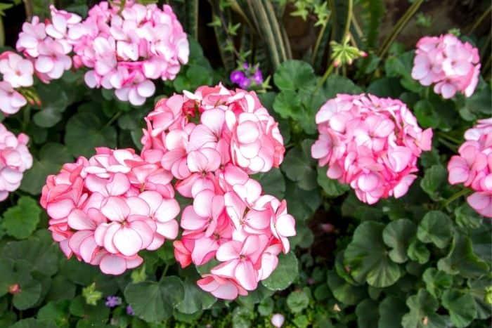 20. geraniums